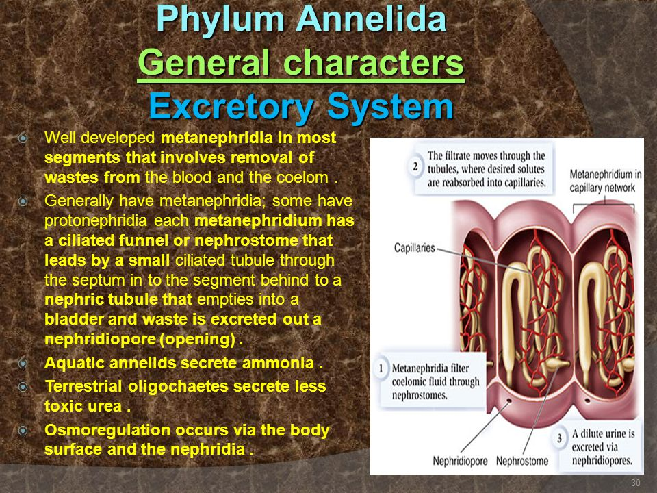 Phylum Annelida General characters Excretory System