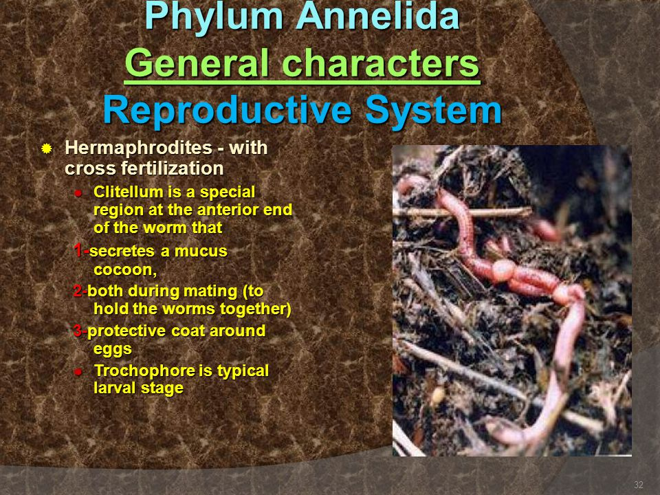Phylum Annelida General characters Reproductive System