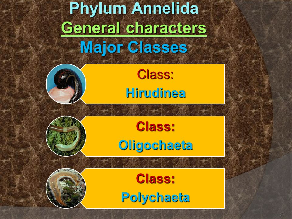 Phylum Annelida General characters Major Classes