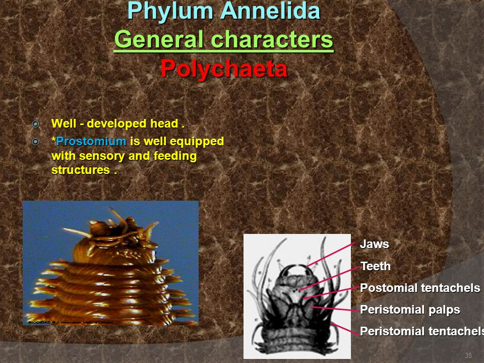 Phylum Annelida General characters Polychaeta