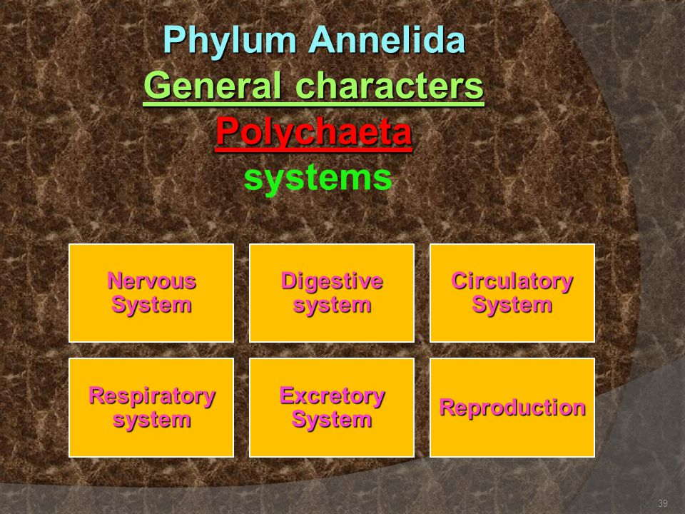 Phylum Annelida General characters Polychaeta systems