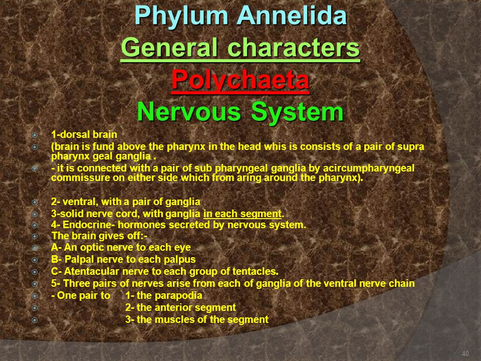 Phylum Annelida General characters Polychaeta Nervous System