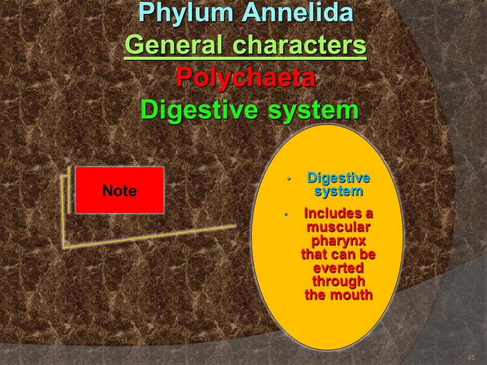 Phylum Annelida General characters Polychaeta Digestive system