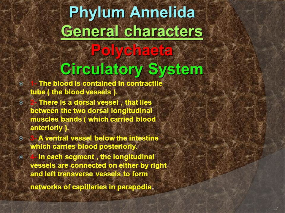Phylum Annelida General characters Polychaeta Circulatory System
