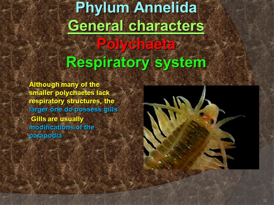 Phylum Annelida General characters Polychaeta Respiratory system