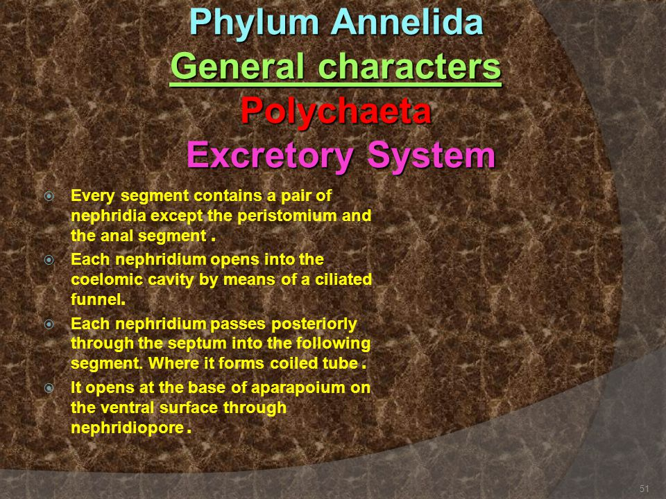 Phylum Annelida General characters Polychaeta Excretory System