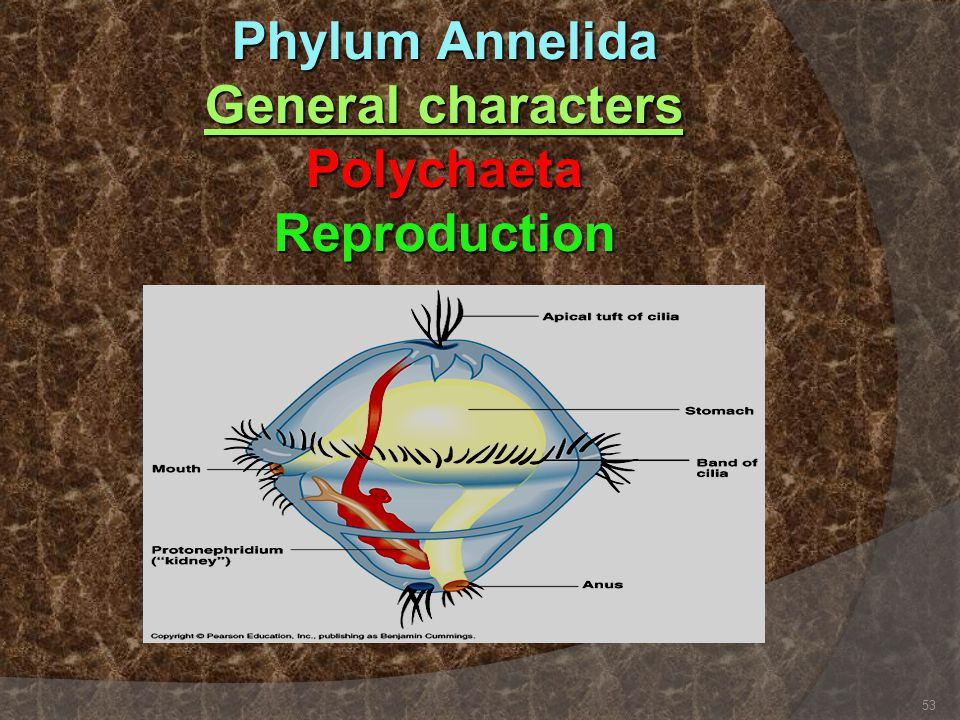 Phylum Annelida General characters Polychaeta Reproduction