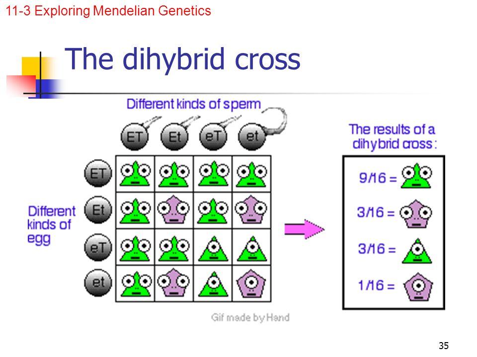 The dihybrid cross Punnett square on board: