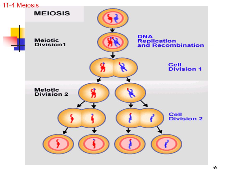 11-4 Meiosis