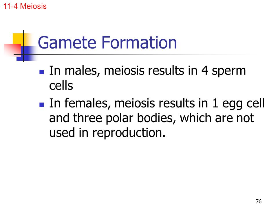 Gamete Formation In males, meiosis results in 4 sperm cells