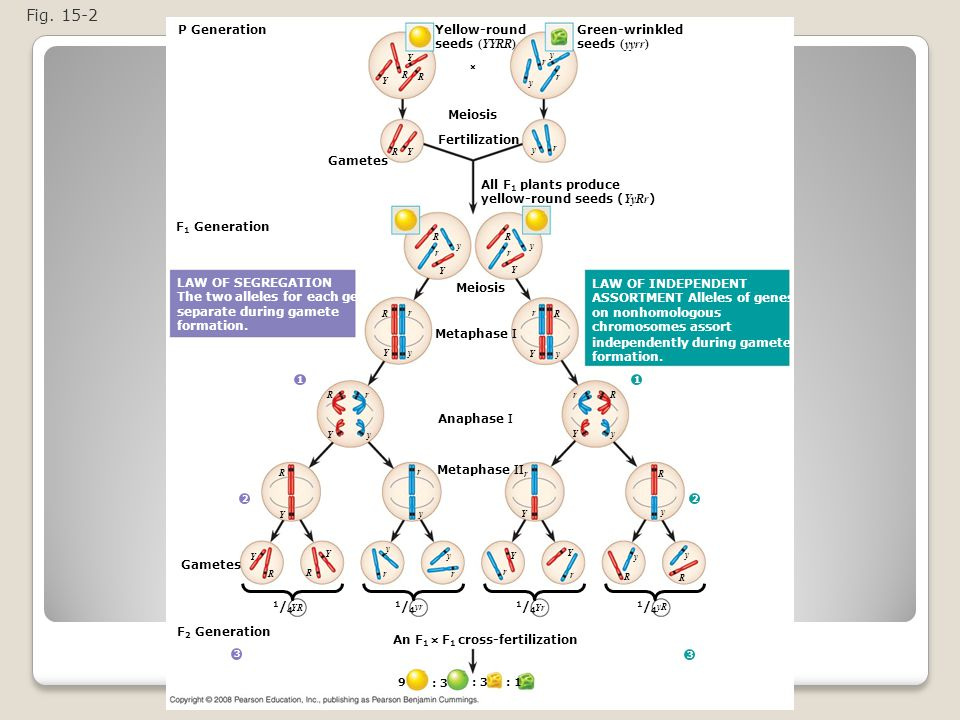 Figure 15.2 The chromosomal basis of Mendel's laws