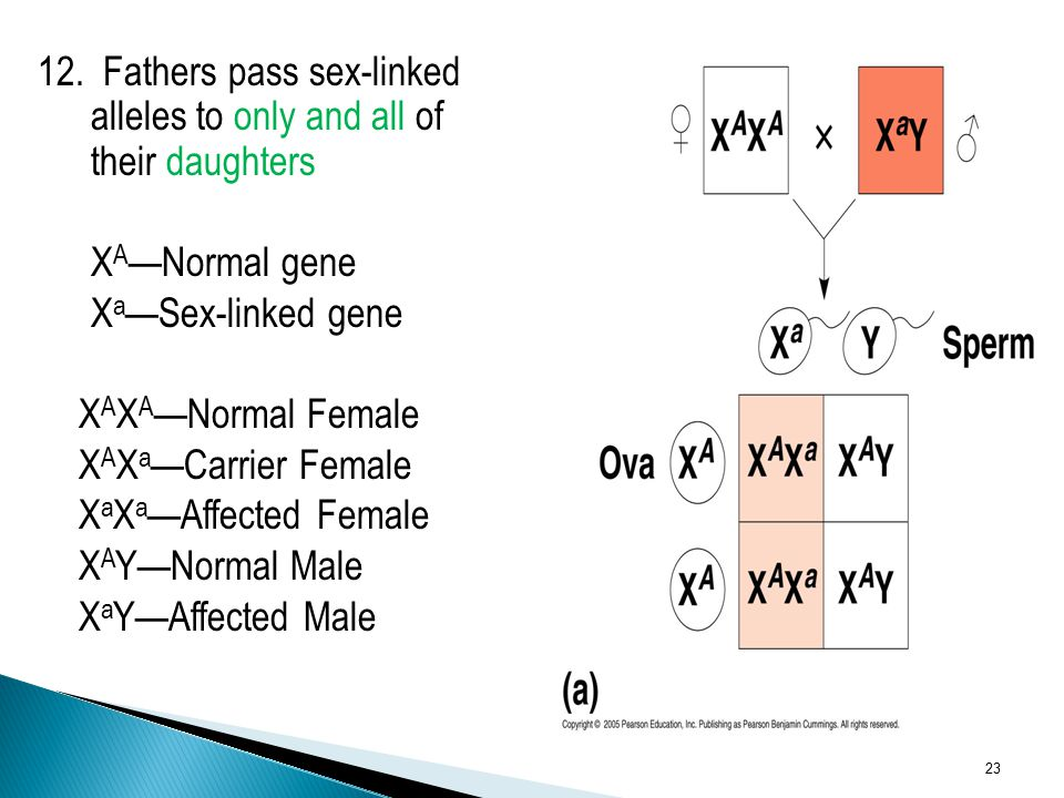 12. Fathers pass sex-linked alleles to only and all of their daughters