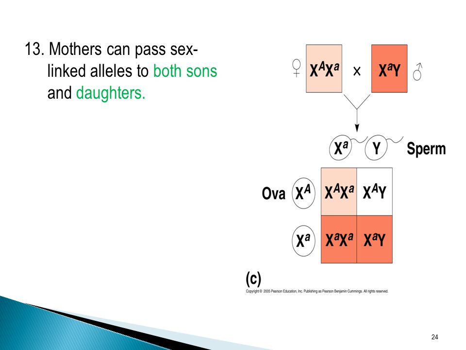 13. Mothers can pass sex- linked alleles to both sons and daughters.