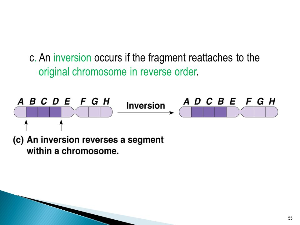 c. An inversion occurs if the fragment reattaches to the original chromosome in reverse order.