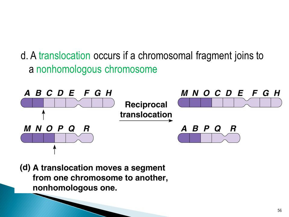 d. A translocation occurs if a chromosomal fragment joins to a nonhomologous chromosome