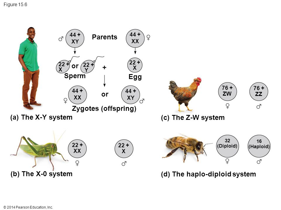(d) The haplo-diploid system