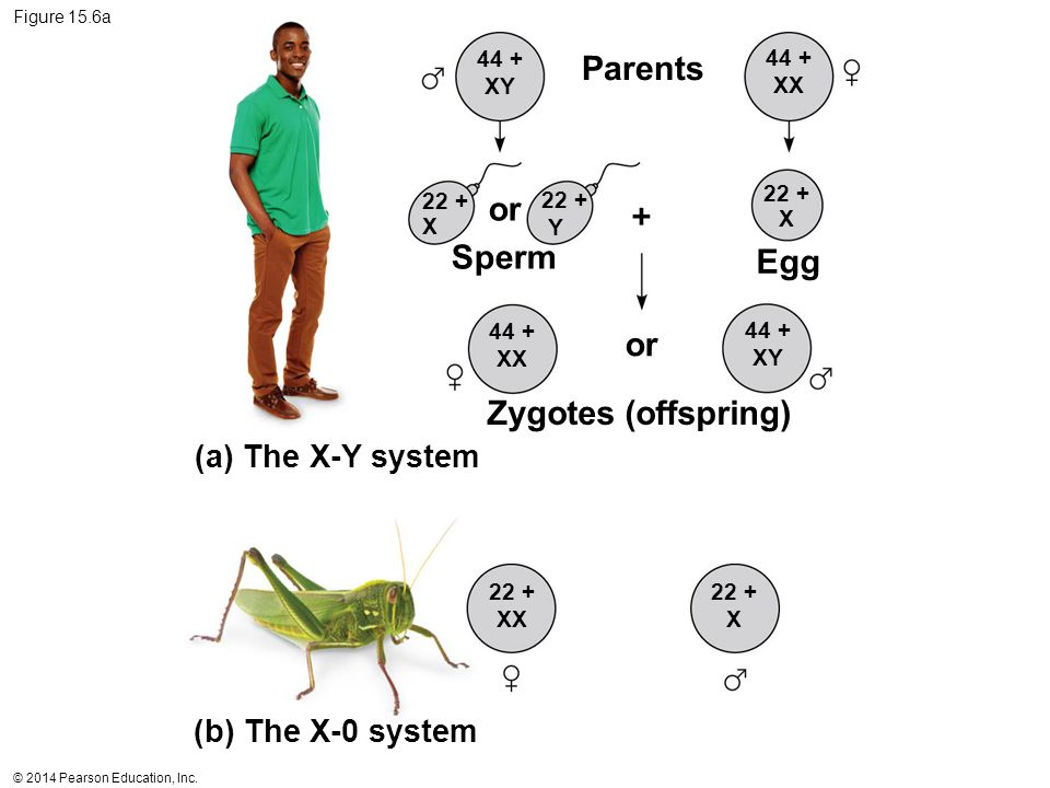 Parents or Sperm Egg or Zygotes (offspring) (a) The X-Y system