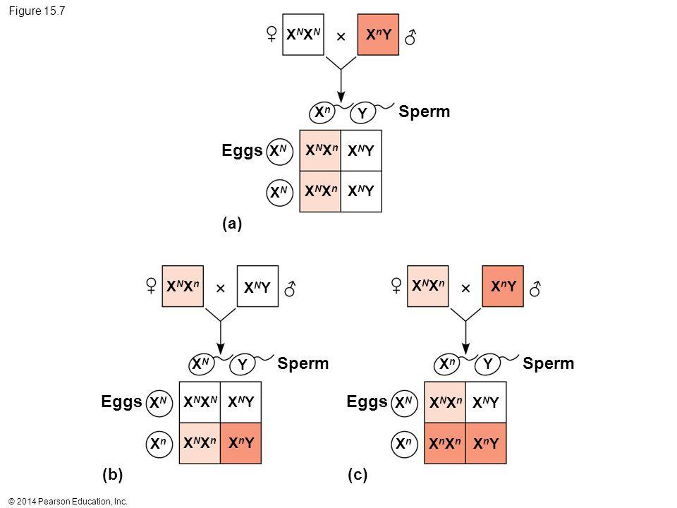 Sperm Eggs Sperm Sperm Eggs Eggs (a) (b) (c) XNXN XnY Xn Y XN XNXn XNY