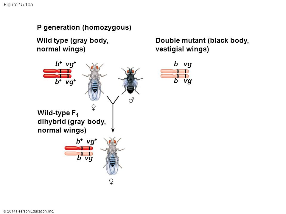 P generation (homozygous)