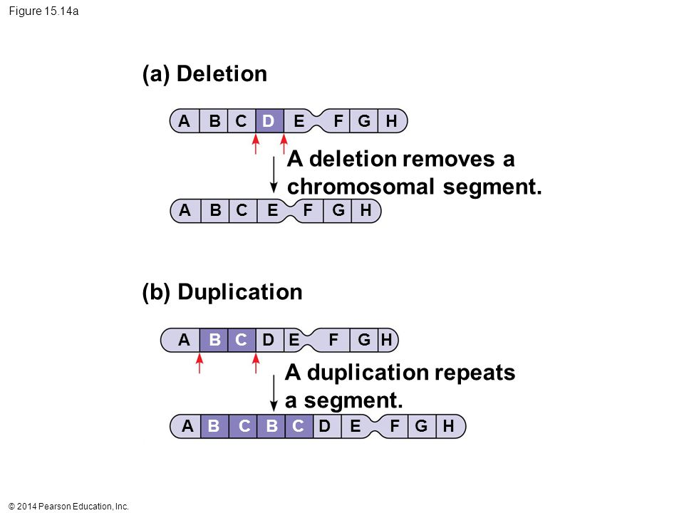 A deletion removes a chromosomal segment.