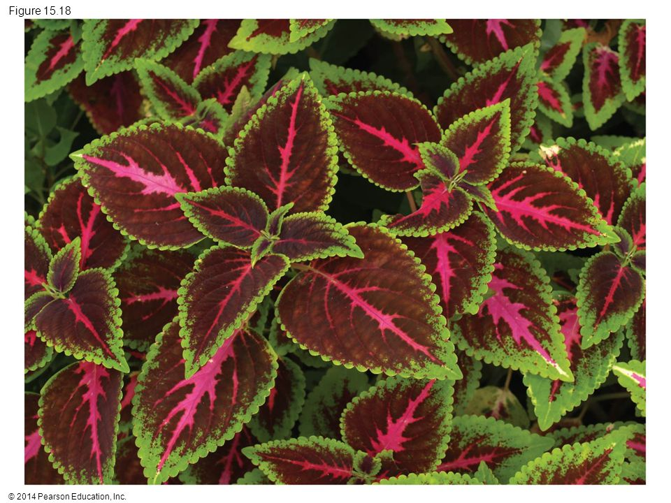 Figure 15.18 Figure 15.18 A painted nettle coleus plant