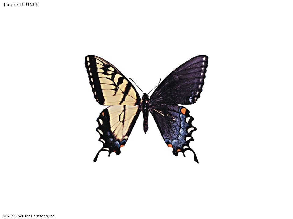 Figure 15.UN05 Figure 15.UN05 Test your understanding, question 10 (tiger swallowtail gynandromorph)