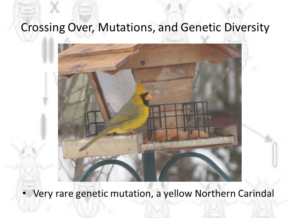 Crossing Over, Mutations, and Genetic Diversity
