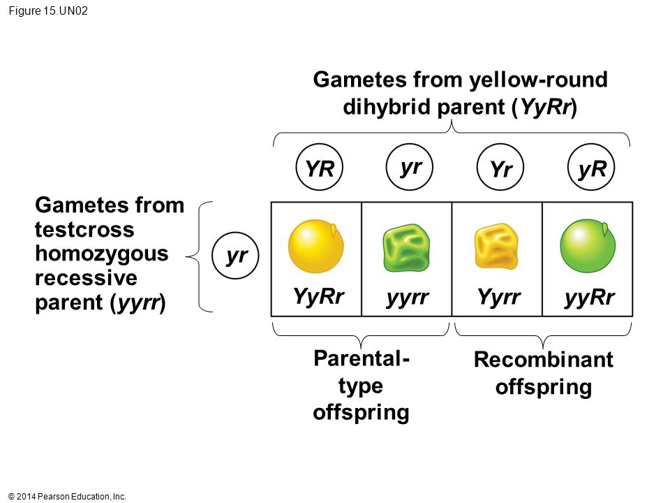 Gametes from yellow-round dihybrid parent (YyRr)