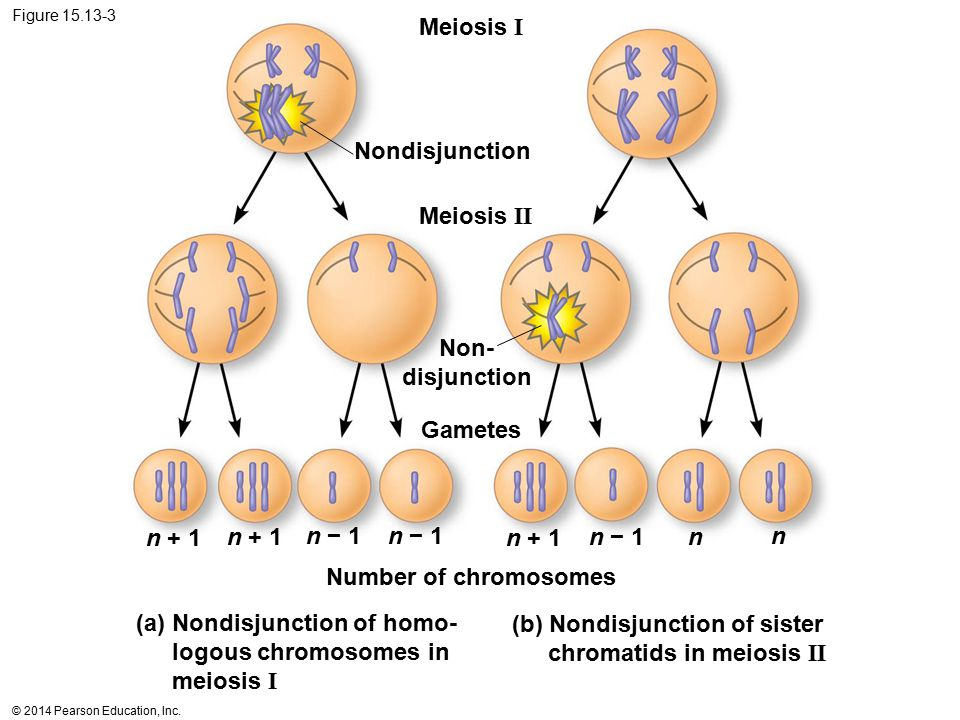 (a) Nondisjunction of homo- logous chromosomes in meiosis I