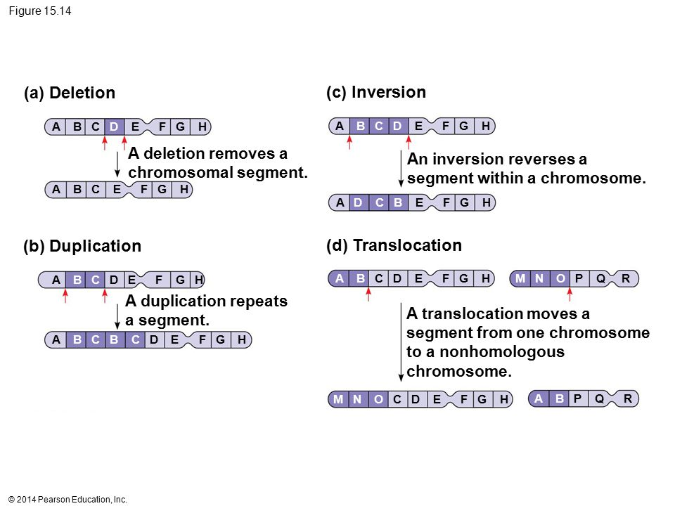 (a) Deletion (c) Inversion (b) Duplication (d) Translocation