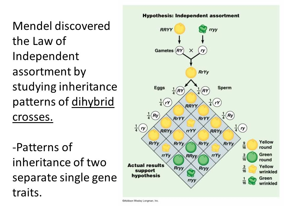 Mendel discovered the Law of Independent assortment by studying inheritance patterns of dihybrid crosses.