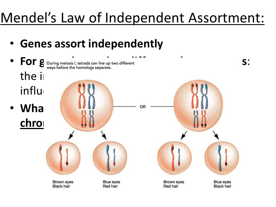 Mendel's Law of Independent Assortment:
