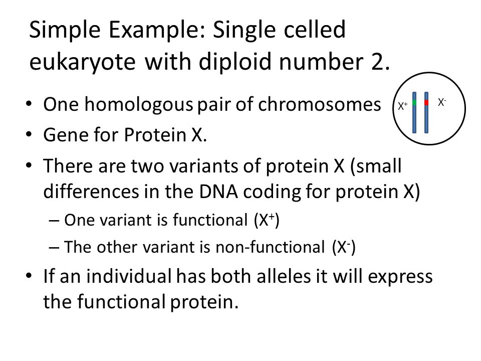 Simple Example: Single celled eukaryote with diploid number 2.