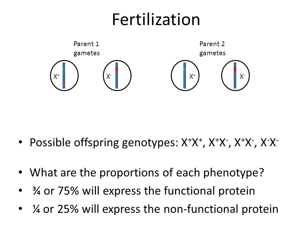 Fertilization Possible offspring genotypes: X+X+, X+X-, X+X-, X-X-