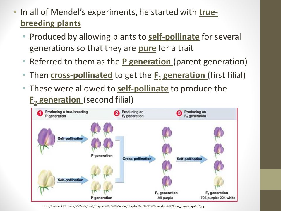 In all of Mendel's experiments, he started with true-breeding plants