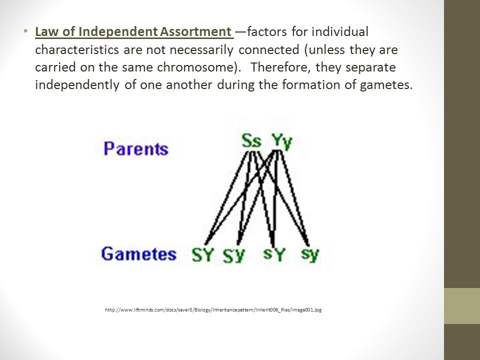 Law of Independent Assortment —factors for individual characteristics are not necessarily connected (unless they are carried on the same chromosome). Therefore, they separate independently of one another during the formation of gametes.
