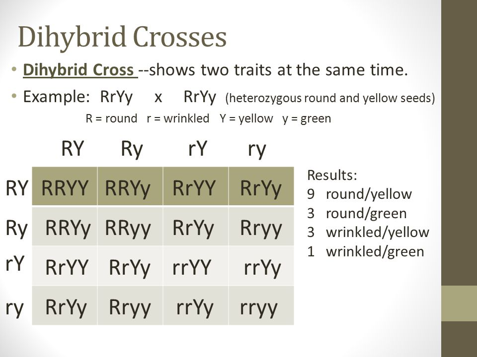 Dihybrid Crosses RY Ry rY ry RY RRYY RRYy RrYY RrYy Ry RRYy RRyy RrYy