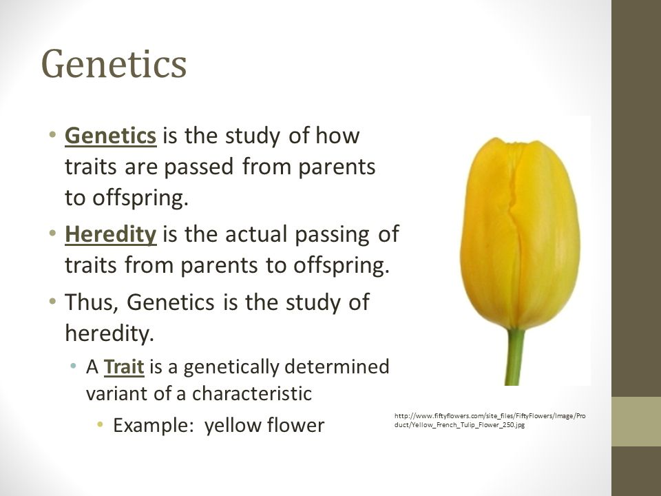 Genetics Genetics is the study of how traits are passed from parents to offspring.