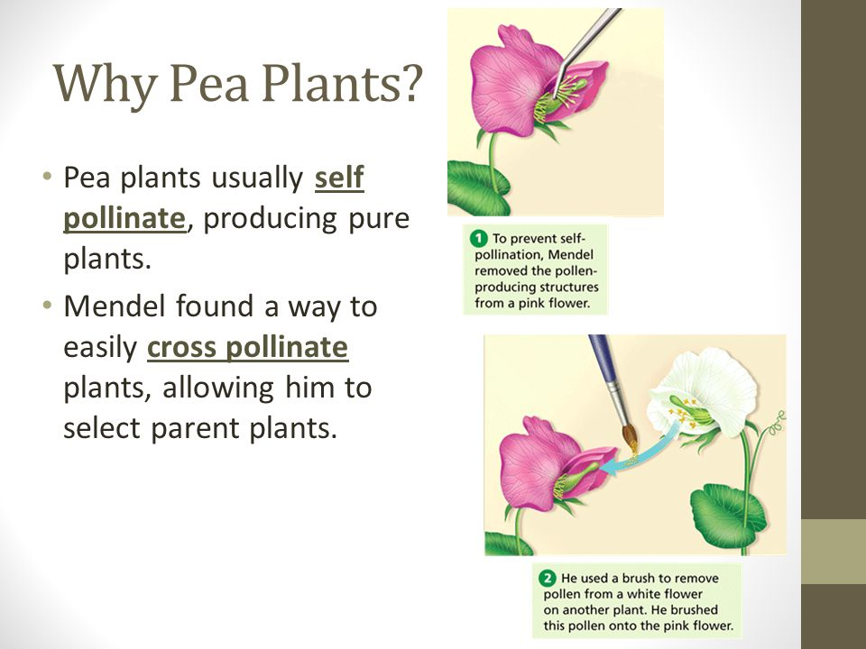 Why Pea Plants Pea plants usually self pollinate, producing pure plants.