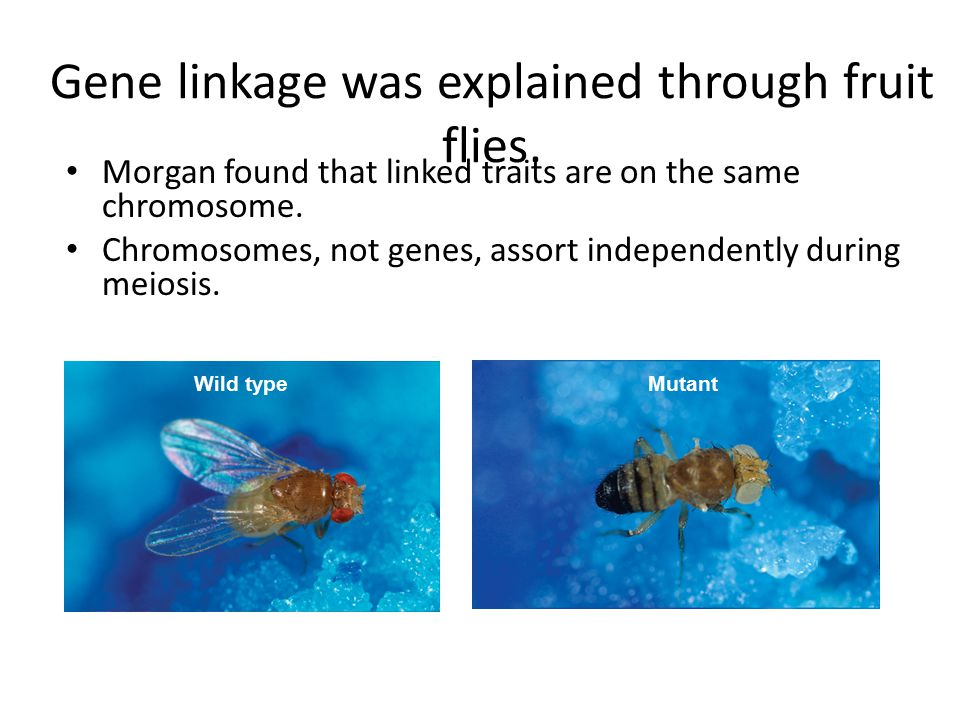 Gene linkage was explained through fruit flies.