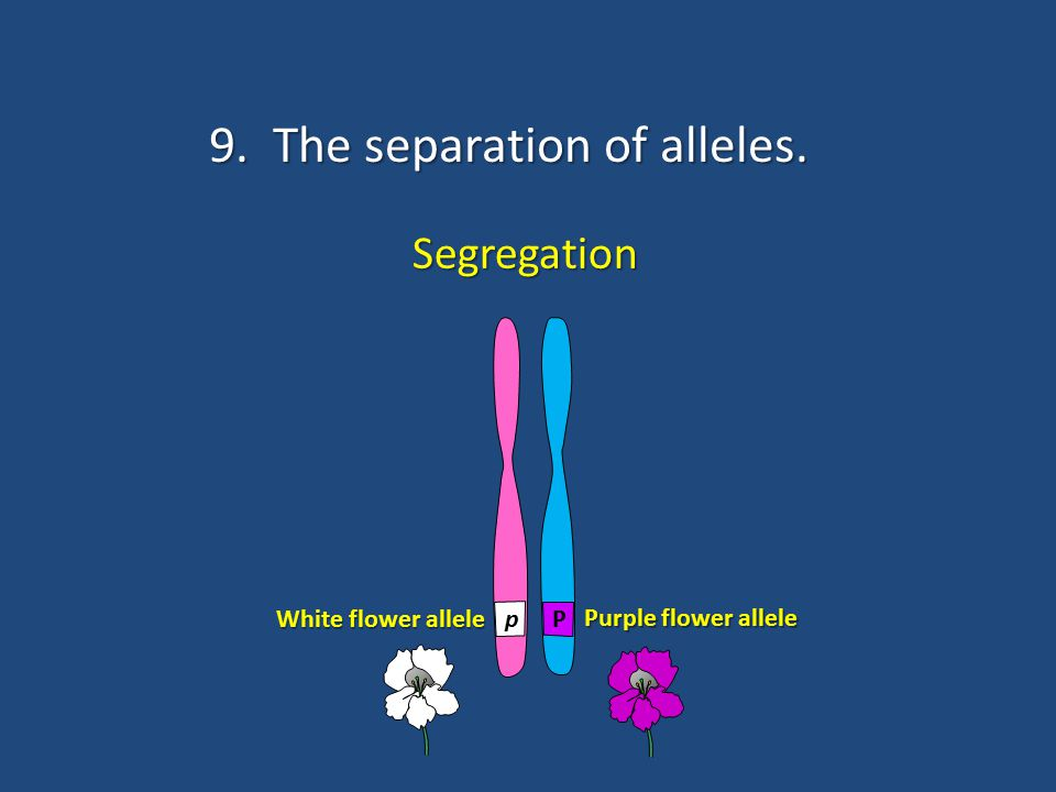 9. The separation of alleles.