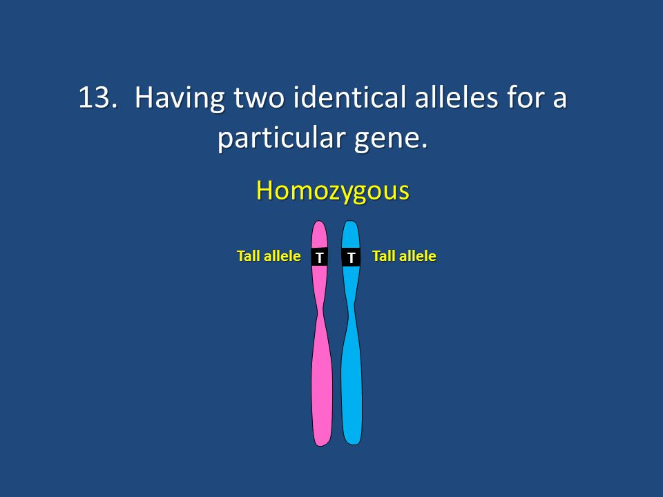 13. Having two identical alleles for a particular gene.