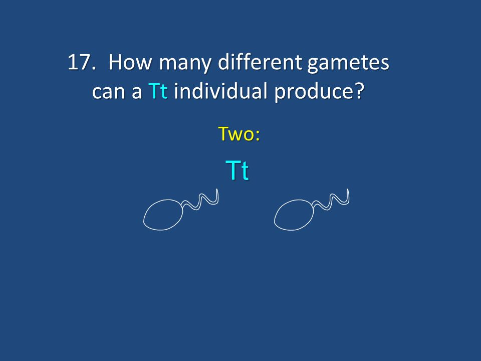 17. How many different gametes can a Tt individual produce