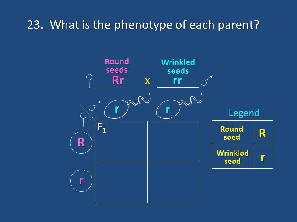 23. What is the phenotype of each parent