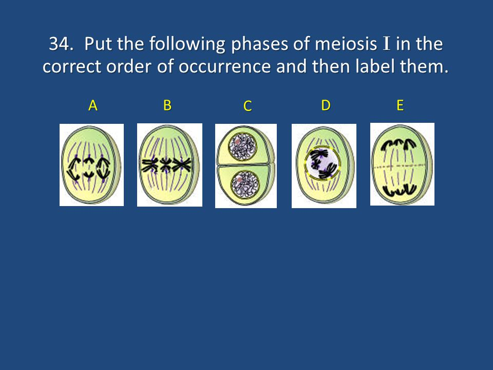 34. Put the following phases of meiosis I in the correct order of occurrence and then label them.