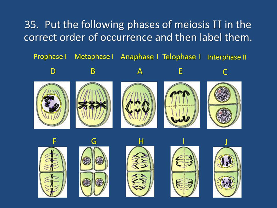 35. Put the following phases of meiosis II in the correct order of occurrence and then label them.