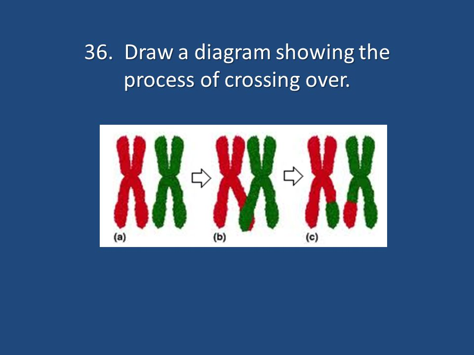 36. Draw a diagram showing the process of crossing over.