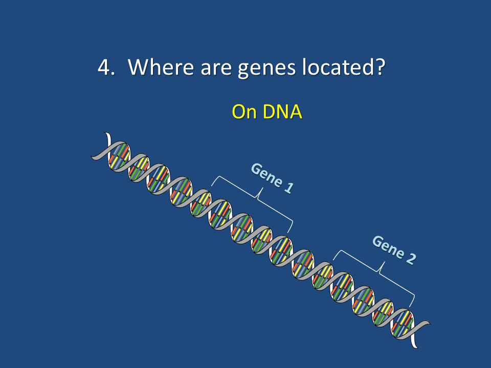 4. Where are genes located