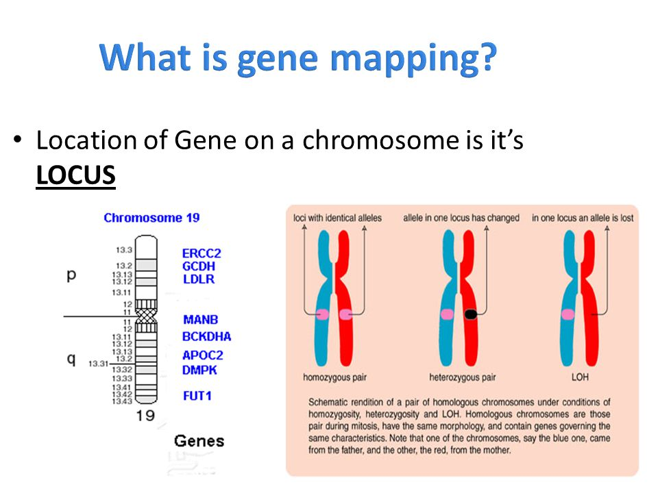 What is gene mapping Location of Gene on a chromosome is it's LOCUS