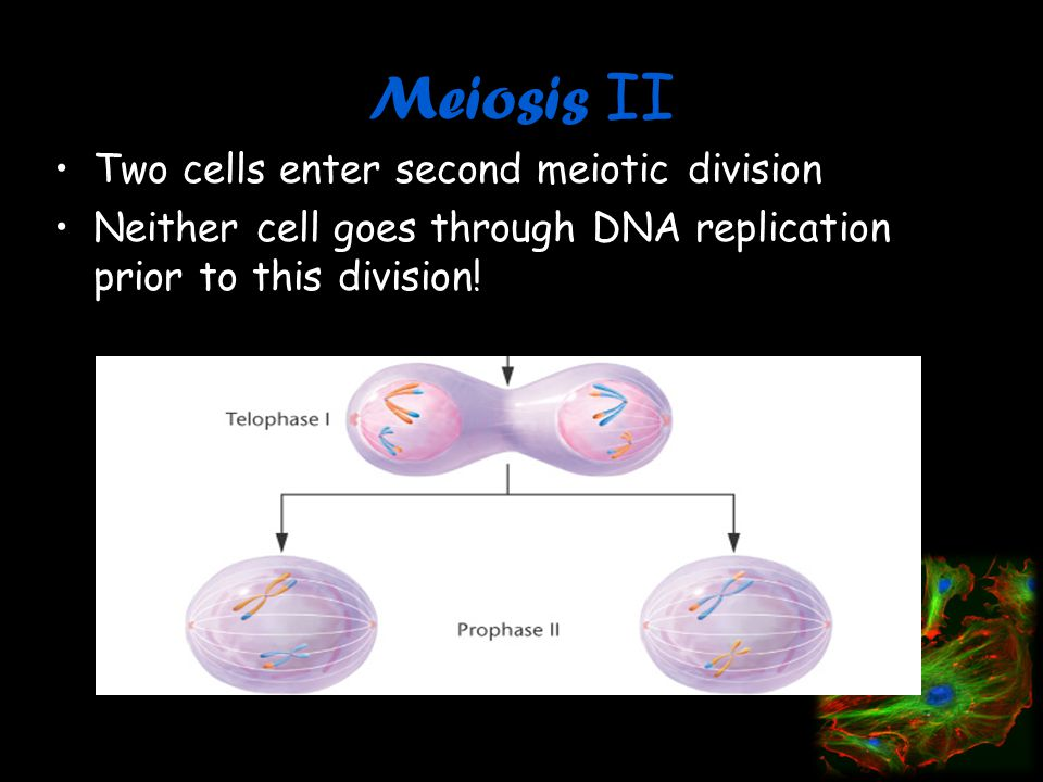 Meiosis II Two cells enter second meiotic division